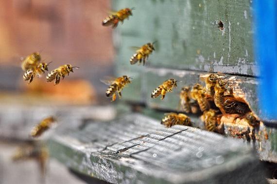 Фото Пчелы предрекли суровую зиму в Коми