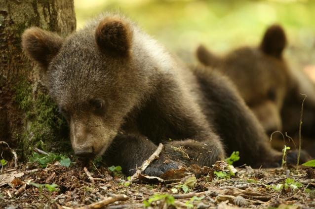 Фото Трёх медвежат, спасённых в Опаринском районе, выпустят в заказнике «Былина»