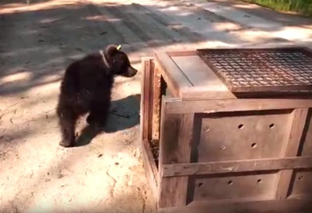 Фото В Коми вернулась медведица Пужа, проходившая реабилитацию в Тверской области